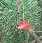 Käfer klein mit Faden 1 Stück