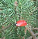 Käfer groß mit Faden 1Stück