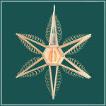 Stern doppelt 23,5 cm  12 Spanbäume